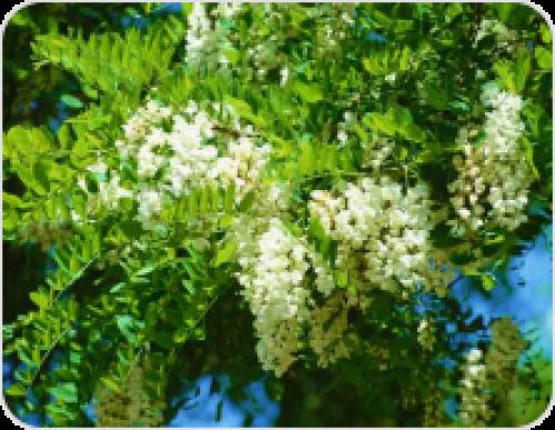 Древесина акации является очень твердой. Древесина акации и ее физические свойства и характеристики. Рассмотрим белую акацию в разрезе.