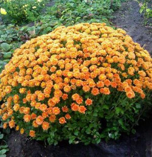 Хризантема золотое руно. Сорта и разновидности садовых хризантем с фото