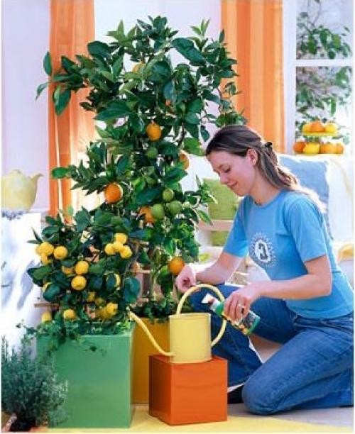 Как правильно ухаживать за лимоном в домашних условиях