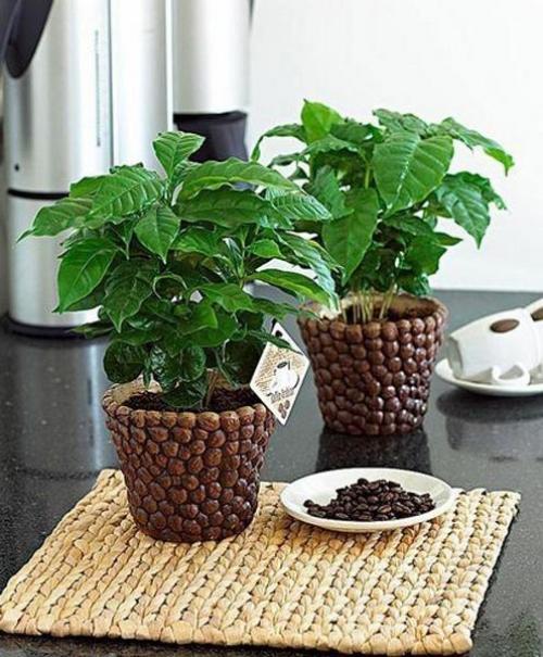 Как вырастить кофейное дерево своими руками? Уход за кофейным деревом дома