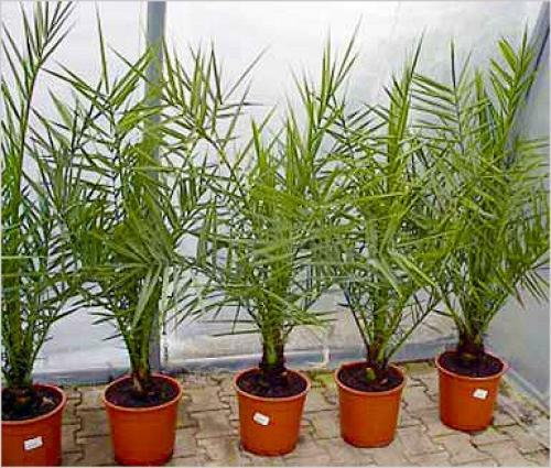 Финиковая пальма в домашних условиях как ухаживать