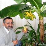 Мы выращиваем банан дома!