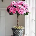 Азалия (Azalea) - королева цветочного царства?