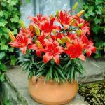 Как выращивать лилии в доме?