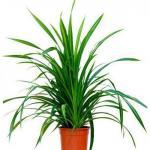Панданус. В случае если возникло желание украсить свое жилье вечнозеленым растение с тропическими корнями, приобретите декоративную пальму.
