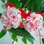 Неповторимая фуксия. Цветы уже давно стали неотъемлемой частью интерьера многих квартир и домов.