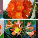 Кливия (Clivia). Входит в семейство амариллисовые (Amaryllidaceae) и насчитывает пять видов южноафриканских вечнозеленых травянистых растений.