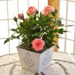 Роза в горшке: уход в домашних условиях.