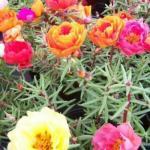 Махровый и крупноцветковый портулак и его выращивание из семян.