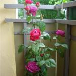 Розы на балконе?