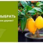 Комнатные деревья: что вам нужно знать о выращивании лимонов в доме?