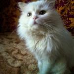 В добрые и ответственные руки пристраивается солидный кот, помесь перса Марик.