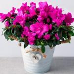Азалия по праву одним из самых красивых комнатных растений является.