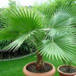 Вашингтония.   Вашингтония (Washingtonia) - растение из семейства пальмовых, распространенное на юге США и в западной Мексике.