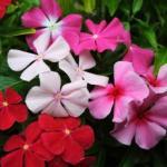 Лучшие комнатные растения с простыми цветками?