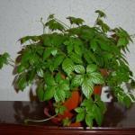 Циссус - незаменимое растения для детской комнаты.