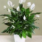 Спатифиллум (Spathiphyllum). - Растение семейства ароидных.