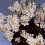 Тритония - красивое луковичное растение, напоминающее миниатюрный гладиолус, принадлежит семейству ирисовых или касатиковых.
