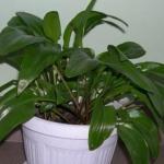 Дримиопсис?   Отличный выбор для тех, кто любит комнатные растения за яркую зелень, а не за эффектные цветы.