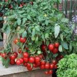 Как вырастить помидоры черри на подоконнике зимой.