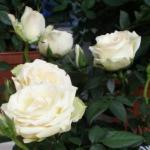 Роза комнатная.  Комнатные розы относятся к семейству розоцветные (Rosaceae.