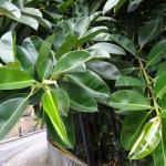 Самые ядовитые комнатные растения: 10 фото.