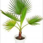 Пальма вашингтония.  Пальма вашингтония.