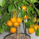 Как вырастить мандарин из косточки дома.