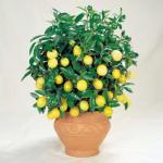 Еще раз о лимоне.