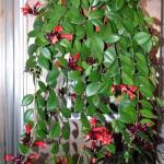 Эсхинантус?   Эсхинантус (Aeschinanthus) - растение, которое довольно редко можно встретить в наших домах.