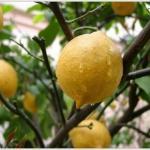 С чего начать выращивание лимона дома.