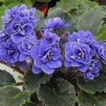 Фиалка узамбарская.  Сенполия (фиалка) - одно из самых популярных цветущих комнатных растений.